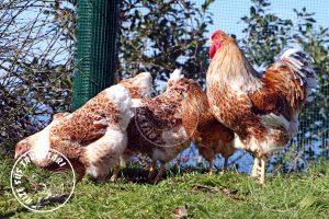 buff splash wyandotte tavukları için civciv ve yarka