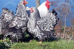 silver wyandotte kuluçkalık yumurta ve civciv satışı