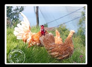 Chamois Appenzeller civciv ve tavukların satıldığı tek ter