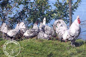 silver appenzeller tavuk satışı ve civciv satışı için iletişime geçiniz. sezonluk kuluçka yumurtası bulunur