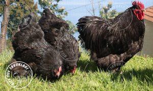 black orpington hakkında tüm bilgiler ve tavuk satışları yapmaktayız