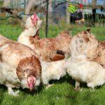 Faverolles Tavukları...