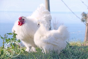 habes silkies chicken tavuk turkiye egg yumurta yarka civciv tavuk rizesustavuklari 5