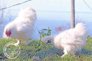 habes silkies chicken tavuk turkiye egg yumurta yarka civciv tavuk rizesustavuklari 6