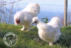 habes silkies chicken tavuk turkiye egg yumurta yarka civciv tavuk rizesustavuklari 7