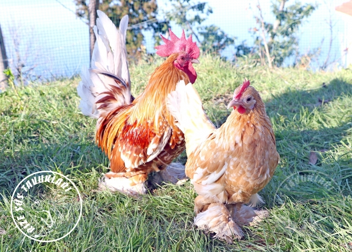 sabelpoot  chicken tavuk turkiye egg yumurta yarka civciv tavuk rizesustavuklari 4