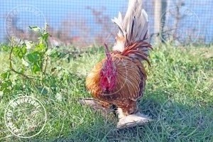 sabelpoot  chicken tavuk turkiye egg yumurta yarka civciv tavuk rizesustavuklari 1
