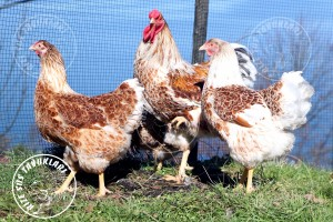 wyandotte buff chicken tavuk turkiye egg yumurta yarka civciv tavuk rizesustavuklari 4