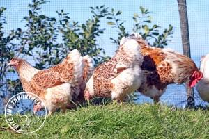 wyandotte buff chicken tavuk turkiye egg yumurta yarka civciv tavuk rizesustavuklari 8
