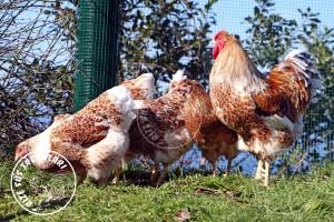 wyandotte buff chicken tavuk turkiye egg yumurta yarka civciv tavuk rizesustavuklari 9