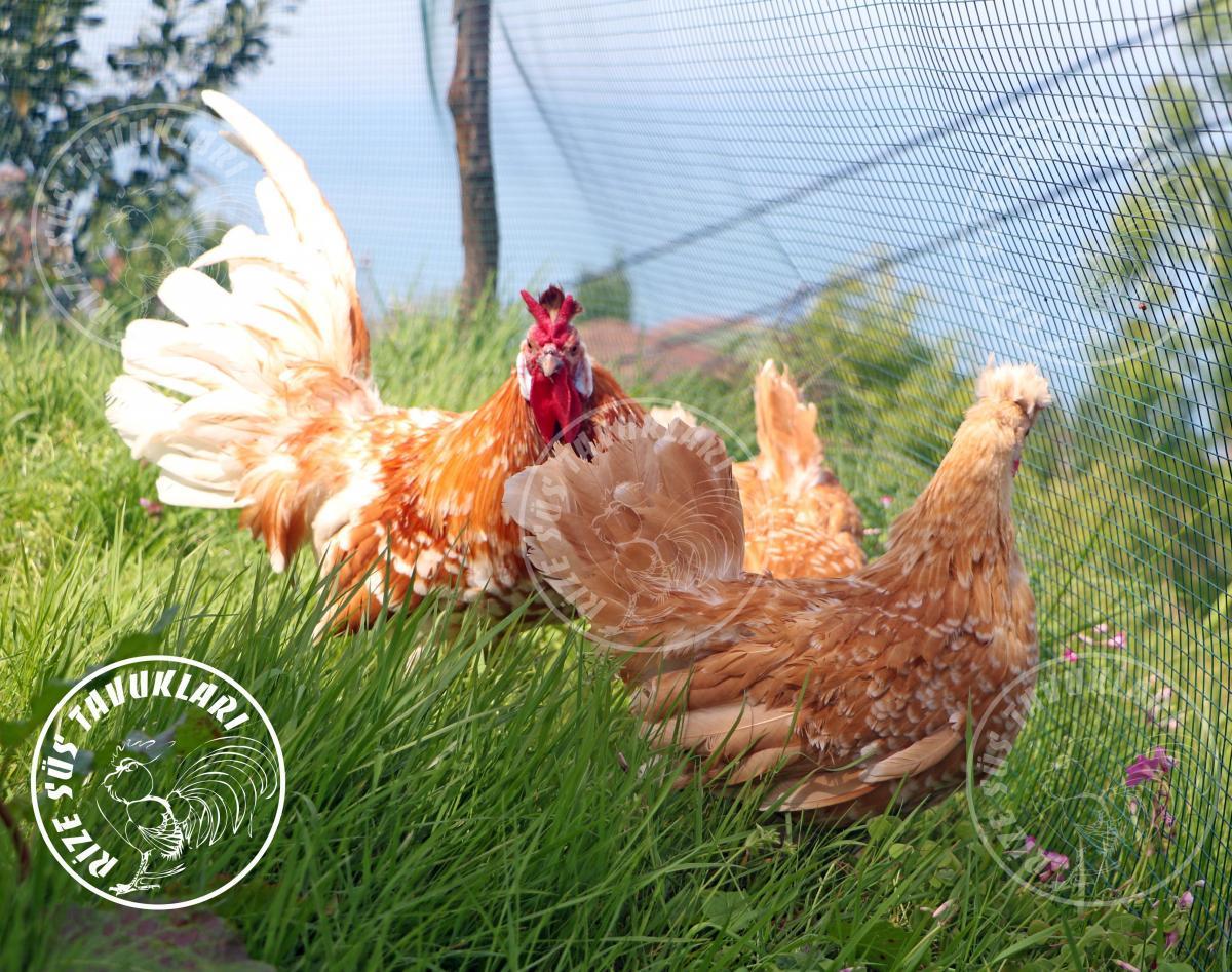 Chomies-Appenzeller  chicken tavuk turkiye egg yumurta yarka civciv tavuk rizesustavuklari-7