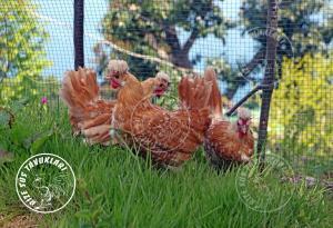 Chomies-Appenzeller  chicken tavuk turkiye egg yumurta yarka civciv tavuk rizesustavuklari-5