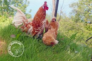 Chomies-Appenzeller  chicken tavuk turkiye egg yumurta yarka civciv tavuk rizesustavuklari-6