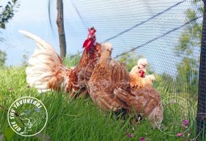 Chomies-Appenzeller  chicken tavuk turkiye egg yumurta yarka civciv tavuk rizesustavuklari 1