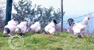 brahma chicken tavuk turkiye egg yumurta yarka civciv tavuk rizesustavuklari 2