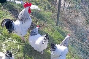 sussex chicken tavuk turkiye egg yumurta yarka civciv tavuk rizesustavuklari 9