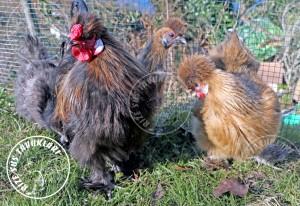 habes silkies buff chicken tavuk turkiye egg yumurta yarka civciv tavuk rizesustavuklari 12
