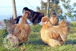habes silkies buff chicken tavuk turkiye egg yumurta yarka civciv tavuk rizesustavuklari 4