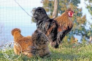 habes silkies buff chicken tavuk turkiye egg yumurta yarka civciv tavuk rizesustavuklari 7