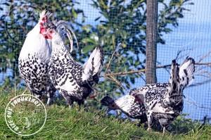 appenzeller chicken tavuk turkiye egg yumurta yarka civciv tavuk rizesustavuklari 11