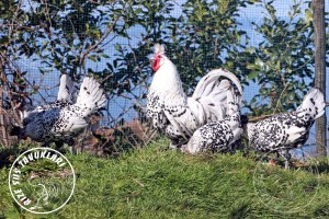 appenzeller chicken tavuk turkiye egg yumurta yarka civciv tavuk rizesustavuklari 12