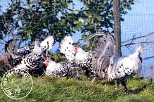 appenzeller chicken tavuk turkiye egg yumurta yarka civciv tavuk rizesustavuklari 17