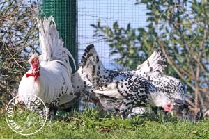appenzeller chicken tavuk turkiye egg yumurta yarka civciv tavuk rizesustavuklari 5