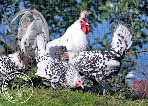 appenzeller chicken tavuk turkiye egg yumurta yarka civciv tavuk rizesustavuklari 8