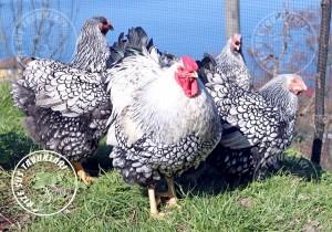 wyandotte silver chicken tavuk turkiye egg yumurta yarka civciv tavuk rizesustavuklari 2