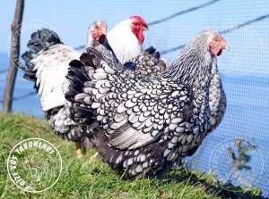 wyandotte silver chicken tavuk turkiye egg yumurta yarka civciv tavuk rizesustavuklari 3