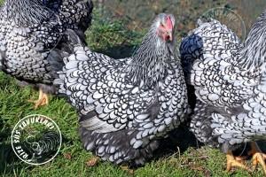 wyandotte silver chicken tavuk turkiye egg yumurta yarka civciv tavuk rizesustavuklari 8