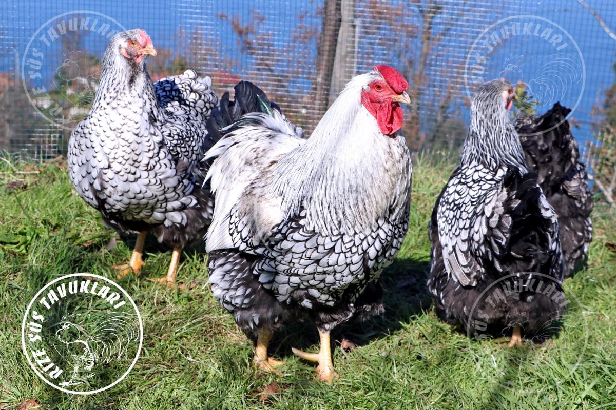 wyandotte silver chicken tavuk turkiye egg yumurta yarka civciv tavuk rizesustavuklari 10