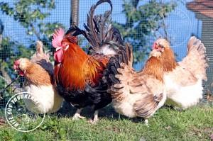sulmtaler chicken tavuk turkiye egg yumurta yarka civciv tavuk rizesustavuklari 1