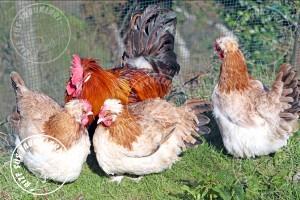 sulmtaler chicken tavuk turkiye egg yumurta yarka civciv tavuk rizesustavuklari 12