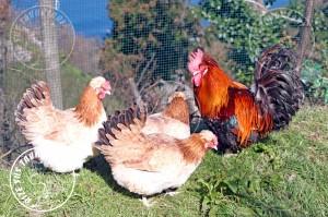 sulmtaler chicken tavuk turkiye egg yumurta yarka civciv tavuk rizesustavuklari 9